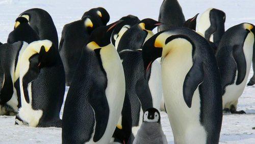 Arctic & Antarctica - Penguins